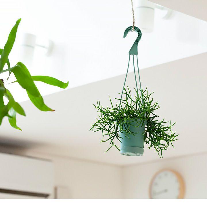 リプサリスを天井から吊るした写真