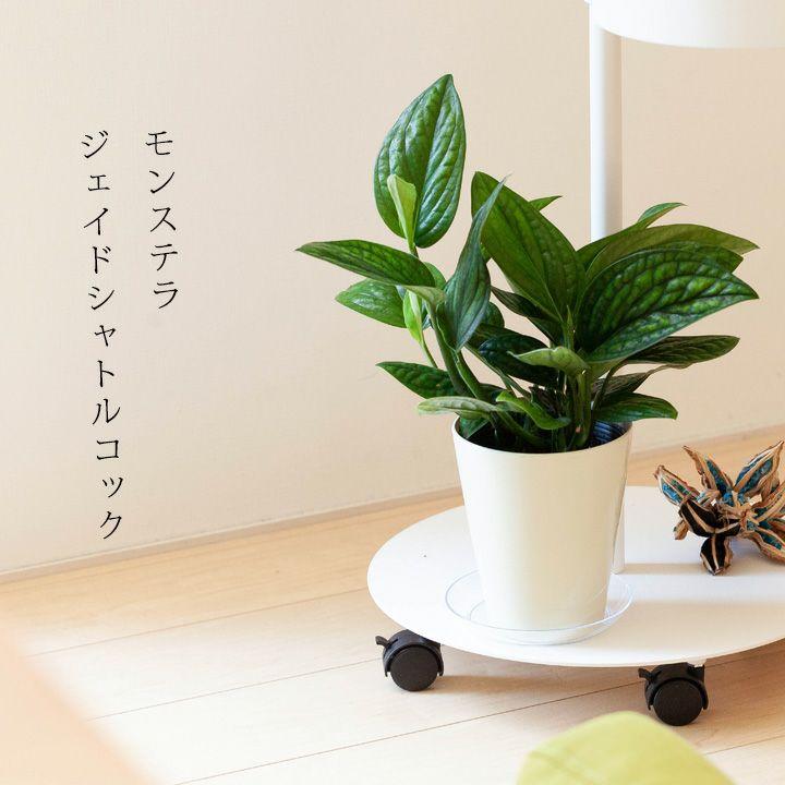 モンステラ・ジェイドシャトルコックを台の上に飾った写真