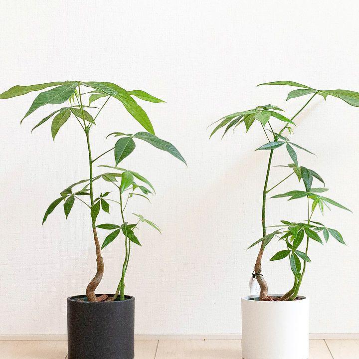 自然樹形のパキラ