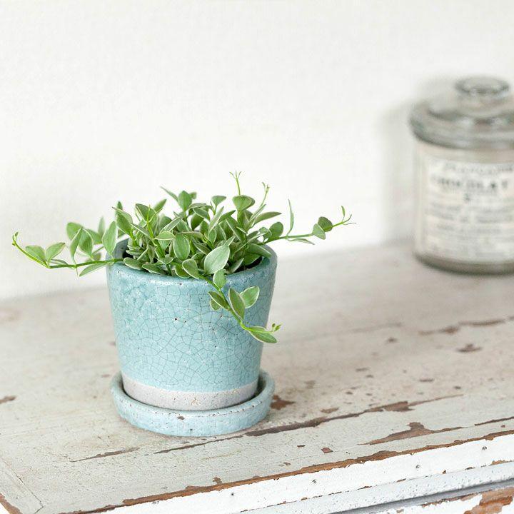 ディスキディア・エメラルドを陶器に植え替え